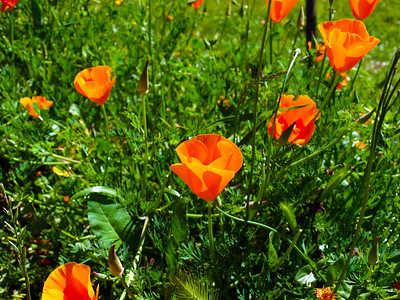 California poppy (Eschscholzia californica). Redwood Regional Park - Oakland, CA, USA