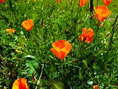 California poppy (Eschscholzia californica). Redwood Regional Park - Oakland, CA, USA