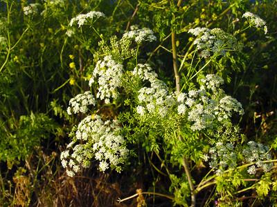 Yarrow (Achillea millefolium). Coyote Hills Regional Park - Fremont, CA