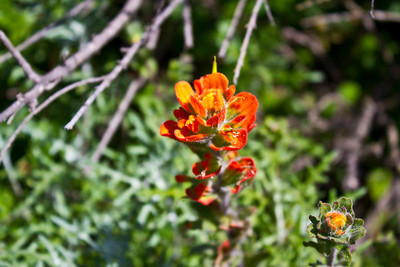 Monterey Indian Paintbrush (Castilleja latifolia). Point Lobos State Reserve - Big Sur, CA, USA