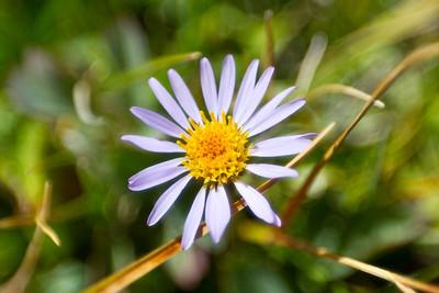 Flowers. Near Ellery Lake - Yosemite National Park - California, USA