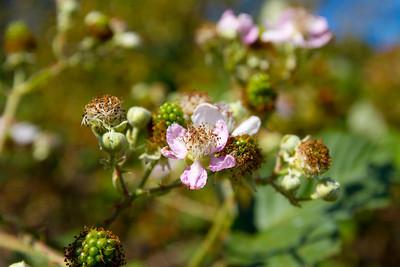Blackberries. Lake Chabot Regional Park - Castro Valley, CA, USA