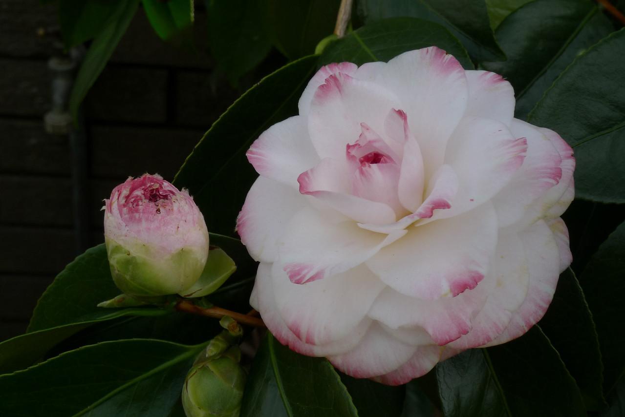 20100602_1159_0082 camellia