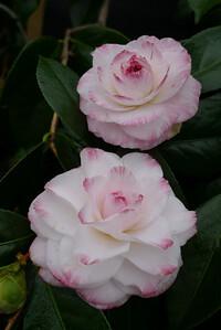 20100604_0853_0095 camellia
