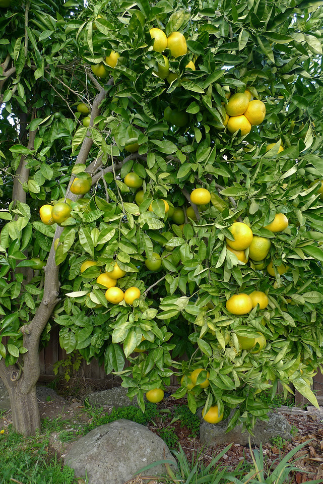 20100618_1512_0162 grapefruit