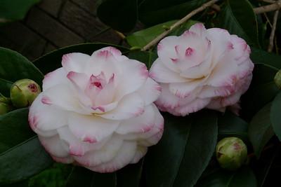 """20100602_1115_0075 camellia """"Al Britain"""""""