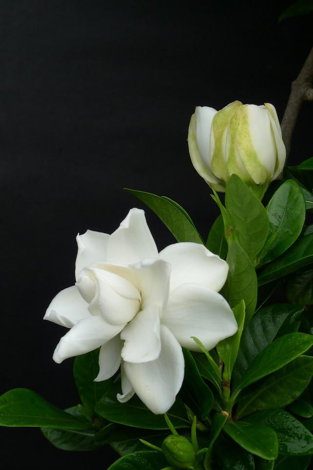 20100605_0943_0115 gardenia