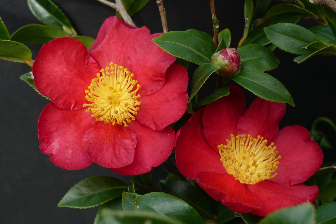20100601_1216_0056 camellia