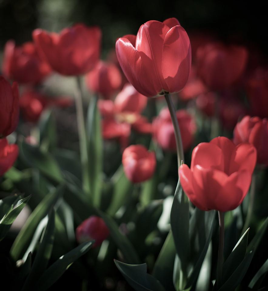 Tulips_2011-10-09_15-54-44__DSC2860_©RichardLaing(2011)