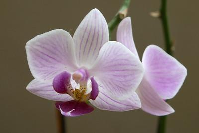 20110703_1516_4184 orchid. Xi'an Botanical Gardens
