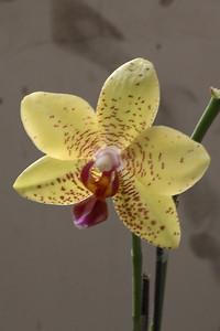 20110703_1519_4188 orchid. Xi'an Botanical Gardens