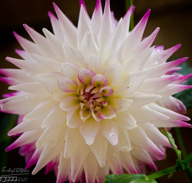 This year our Dahlias did very well. Sporting many striking flowers, they are some of my favorite flowers to shoot.