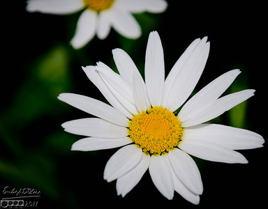 2011 Flowers - Part II