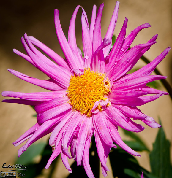 This one is a pink Dahlia, and looks very different from the other one.