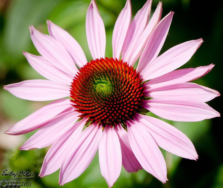 I do like Cone Flowers . . .