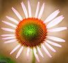 Did I mentioned I like ConeFlowers?