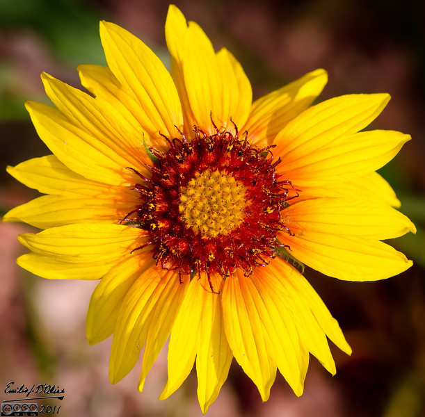 Blanket Flowers are wildflowers that can be found in many Colorado habitats.