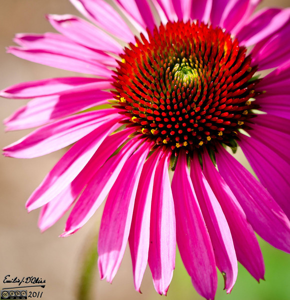 I like Cone Flowers for their very different stages of development.
