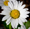 Shasta Daisies are nice to look at but are too aggressive, and they are difficult to clean up at the end of the season.
