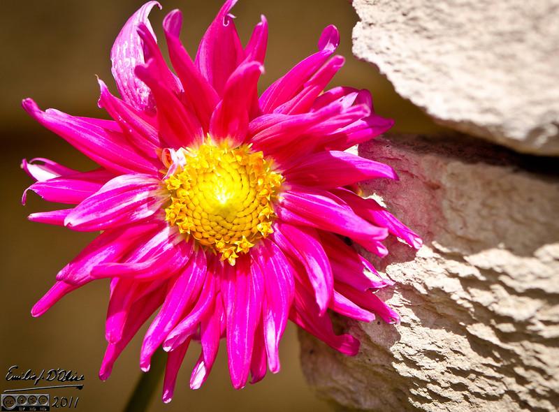 Note . . . if you see lots of ants on your Dahlia, you have an Aphid problem.
