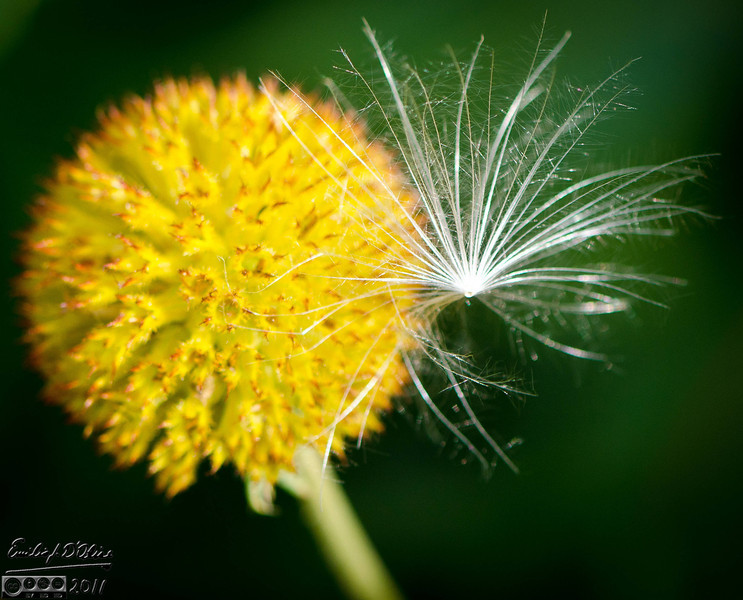 This is some kind of wind-borne seed caught on the seed ball of the Blanket Flower.