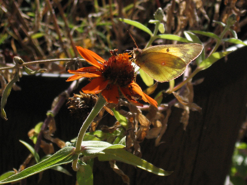 Orange Zinnia and a small yellow butterfly in mid-November.