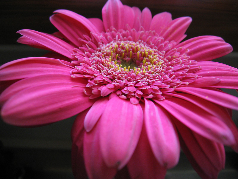 Gerbera Daisy for Becky's Birthday