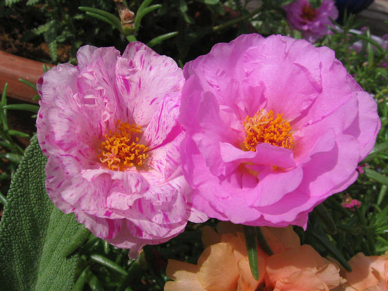Pink moss rose.