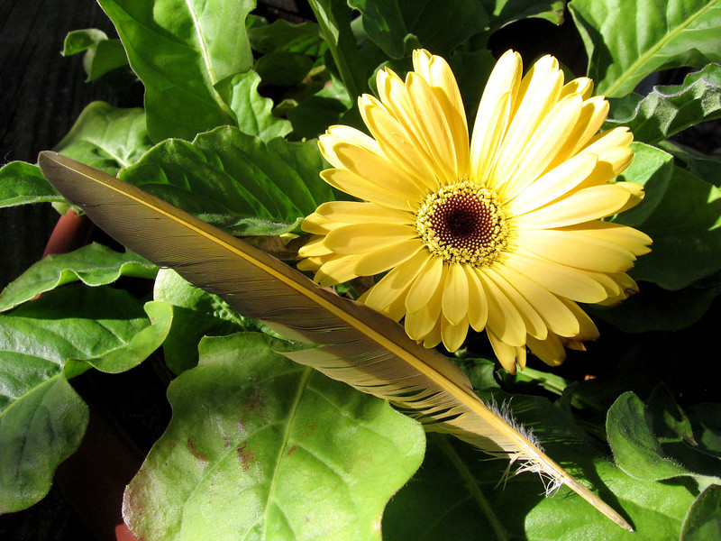 Yellow Gerbera Daisy and yellow feather in mid-November.