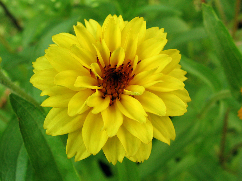 Yellow zinnia.