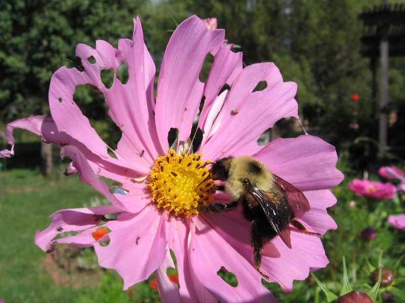Bumble bee on weathered  pink Cosmos flower.
