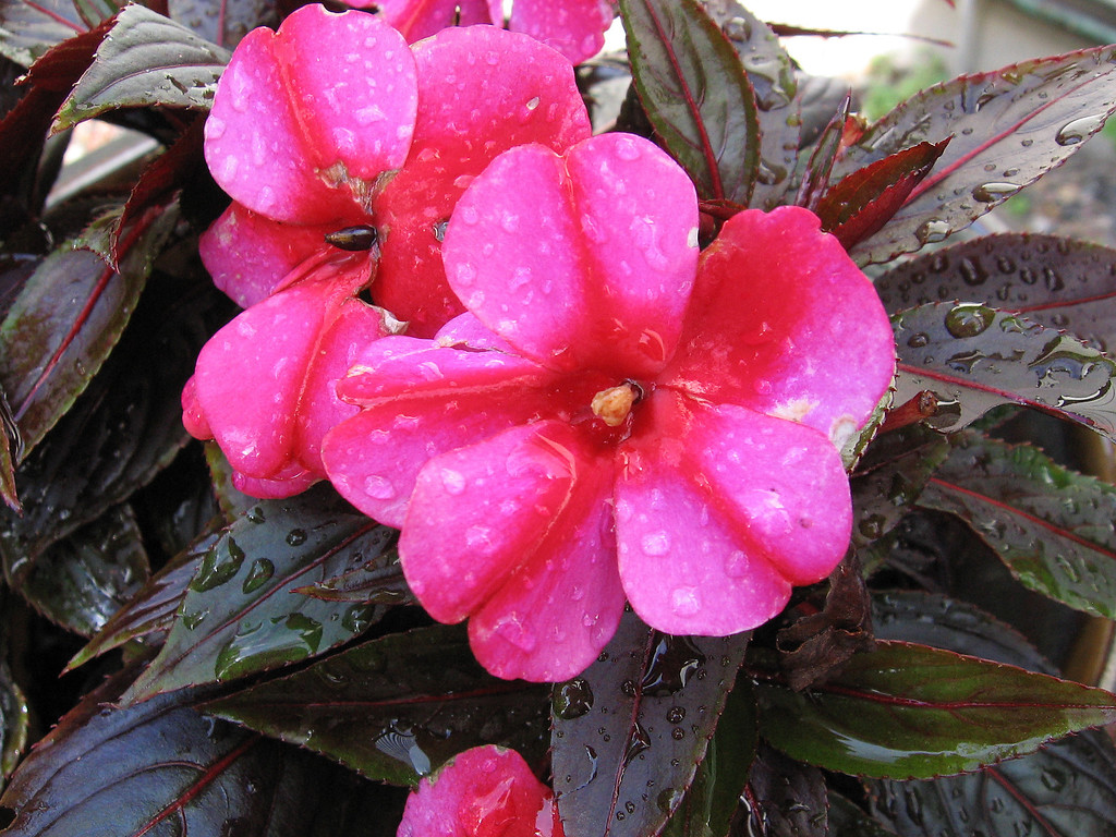 New Guinea Impatiens after a day of rain.