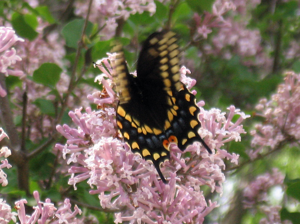 Swallowtail butterfly in the lilac tree. fluttering it's wings.