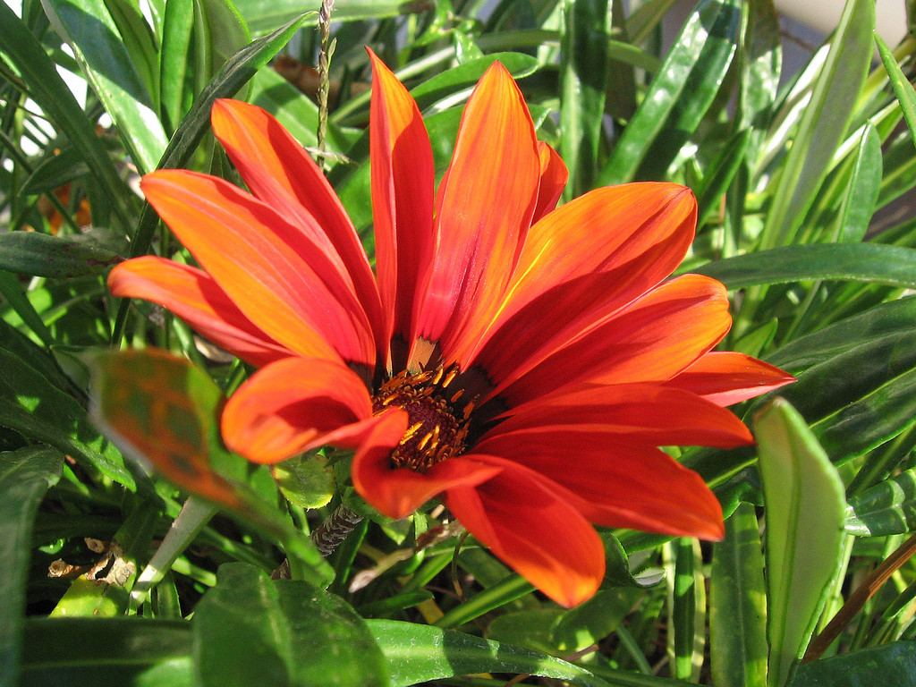 A darker orange Gazania that opened today - November 15.