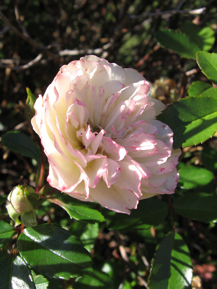 A white miniature rose tinged with red blooming in November.