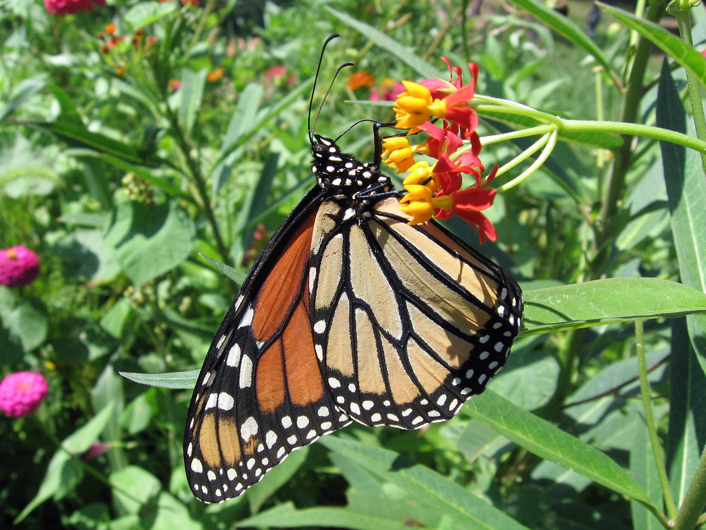 Monarch butterfly on the asclepias flowers.