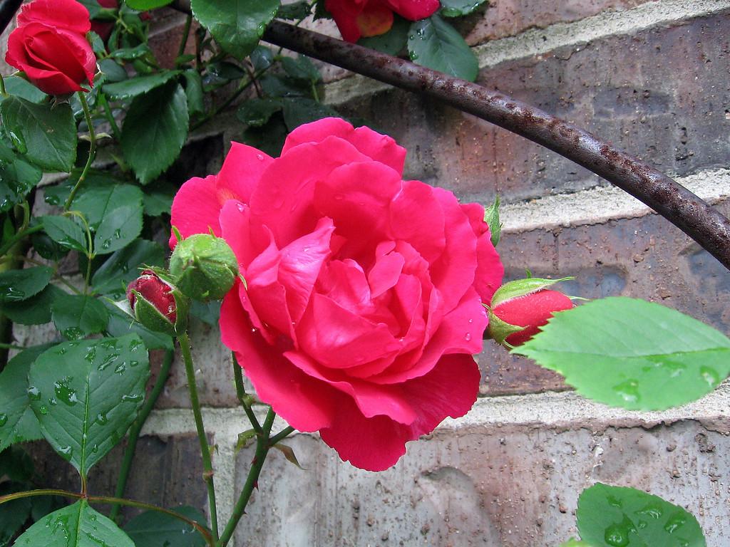 Red climbing rose.