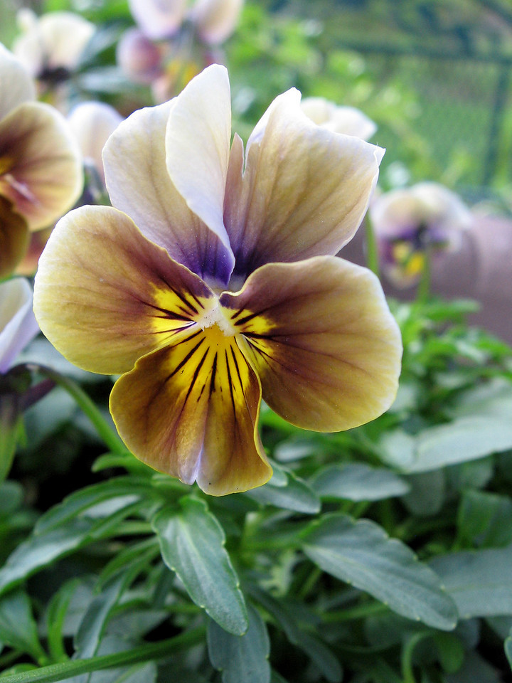 Becky brought this different and very pretty viola home this spring.