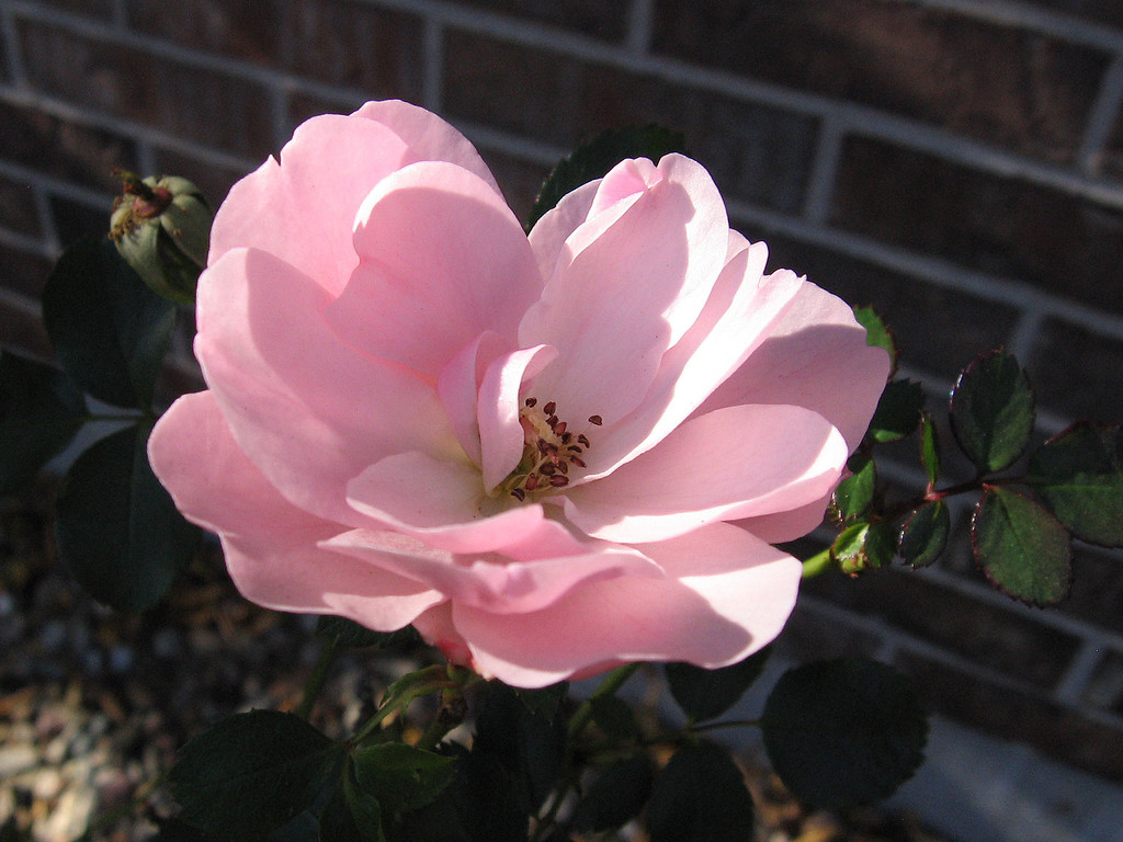 Pink rose blooming in November.