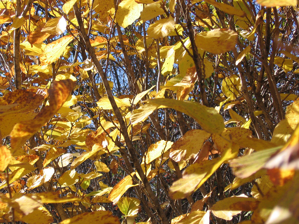 Yellow fall foliage of the Witch Hazel or Hamamelis Vernalis.
