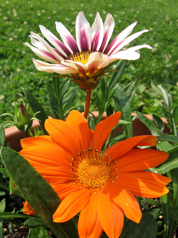 Some of the gazania growing in a large pot.