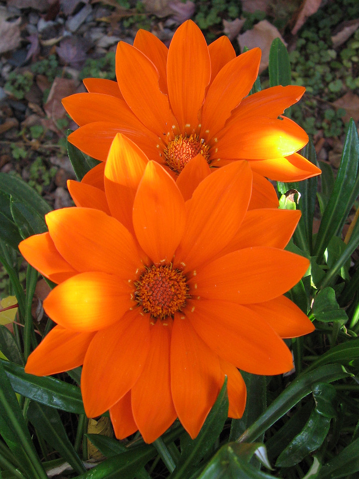 Orange Gazanias splashed with sunlight -- still blooming in mid-November.