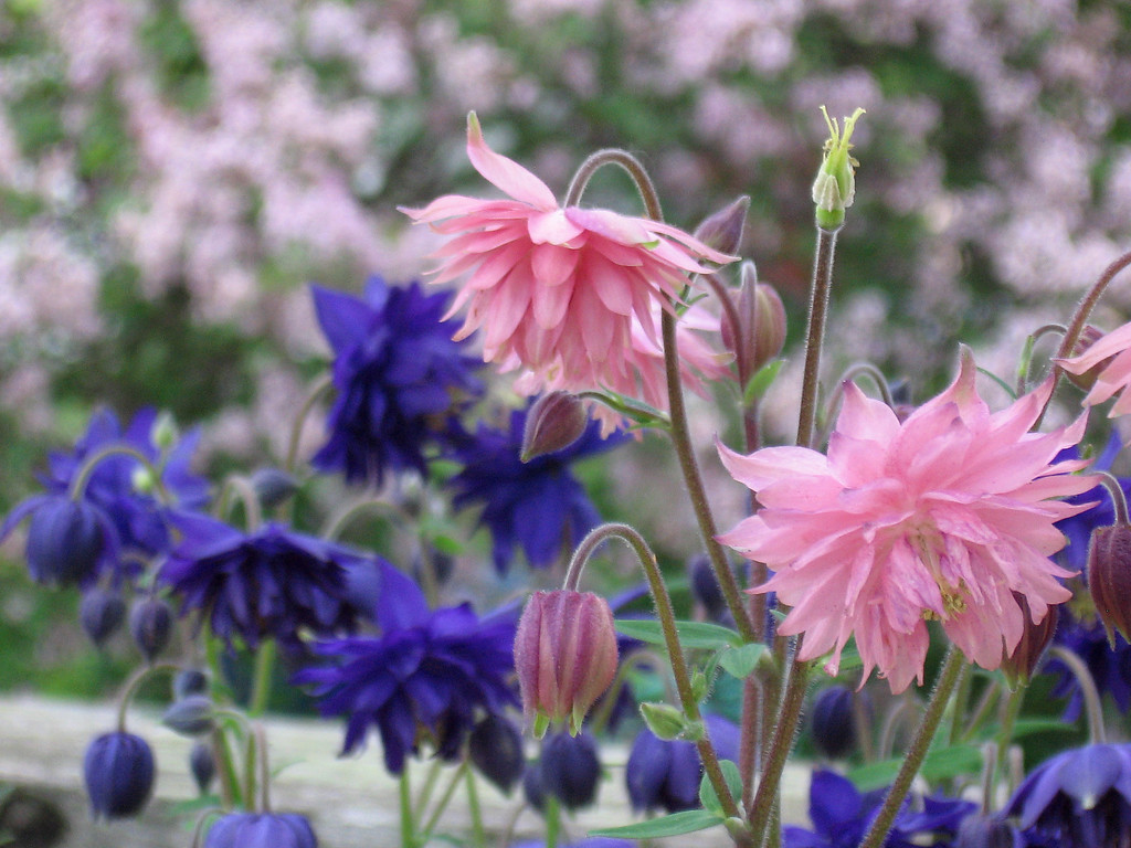 Blue and pink Nora Barlow columbines.