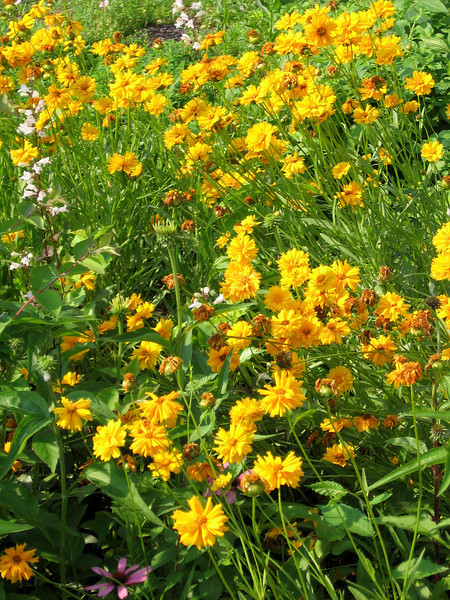 Bight yellow Coreopsis and white Penstemon flower spikes.