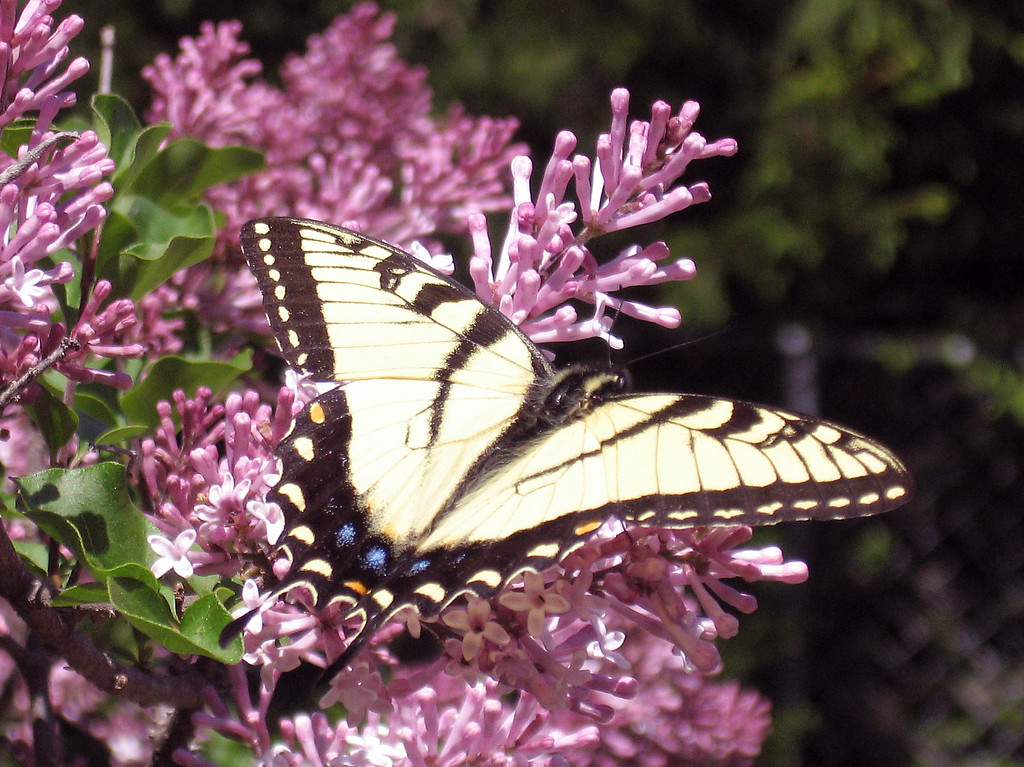 Beautiful butterfly on the lilac tree. The butterflies seem really early this year.