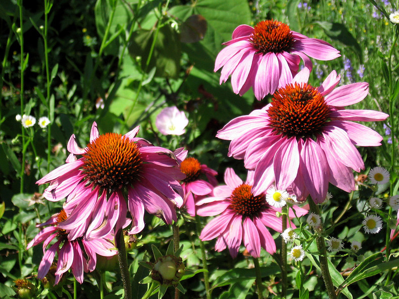 Purple cone flowers in the bright morning light.