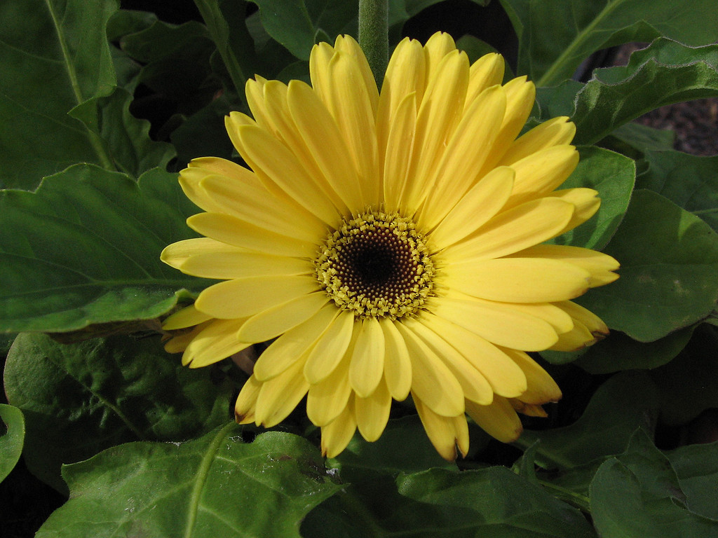 Yellow Gerbera Daisy blooming in mid-November.