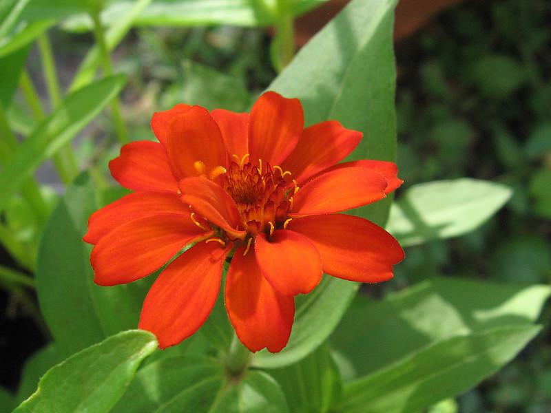 Orange zinnia.