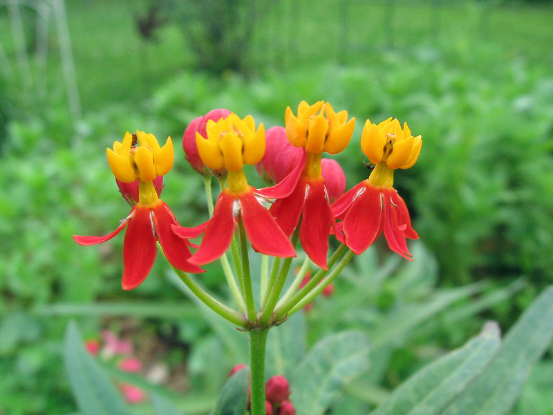 Yellow and red asclepias.