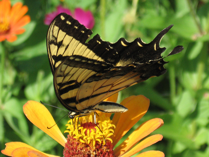 Yellow swallowtail butterfly on a yellow zinnia flower.